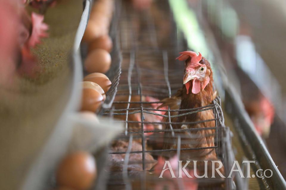 Indonesia Tambah Pasar Ekspor Telur Tetas ke Myanmar