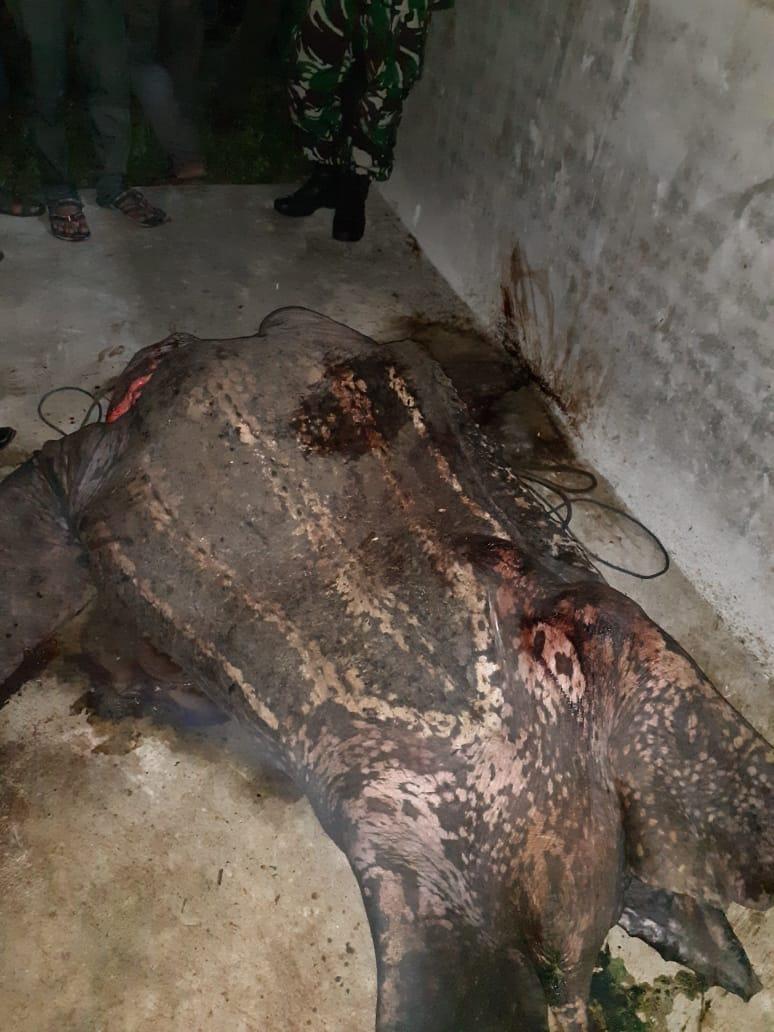 Tragis, Penyu Belimbing Sepanjang Dua Meter Disembelih Warga untuk Disantap