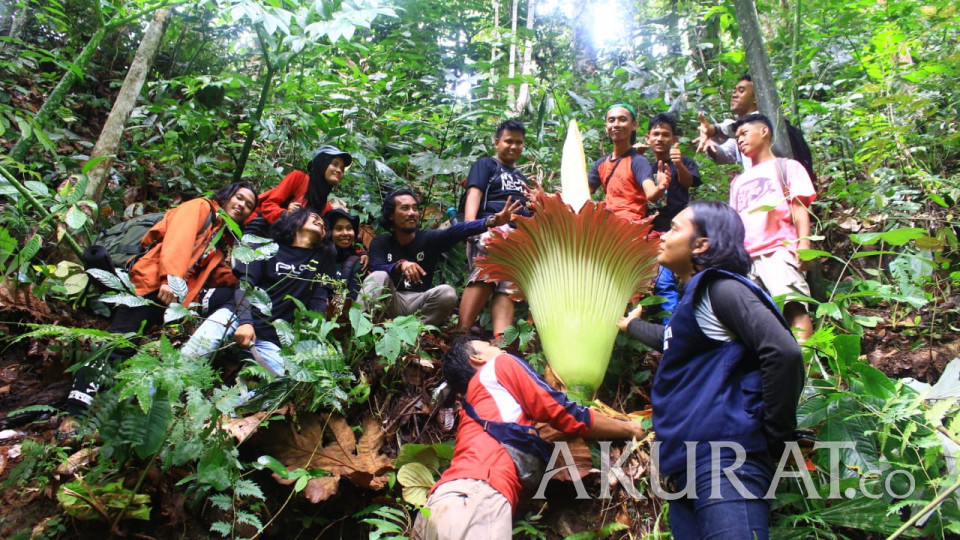 Bukan Cuma di Kebun Raya Bogor, Bunga Bangkai Juga Mekar dengan Indah di Tapanuli Tengah