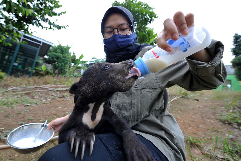 Perawatan Beruang Madu di TPS BKSDA Jambi