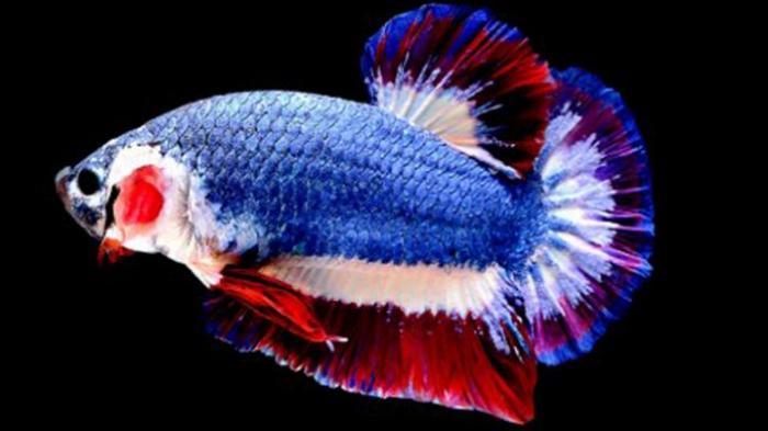Harga 4 Jenis Ikan Cupang Ini Dijamin Bikin Geleng-geleng Kepala - Foto 1