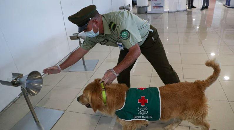 Anjing di Bandara Santiago Chile Bertugas Deteksi COVID-19 - Foto 1