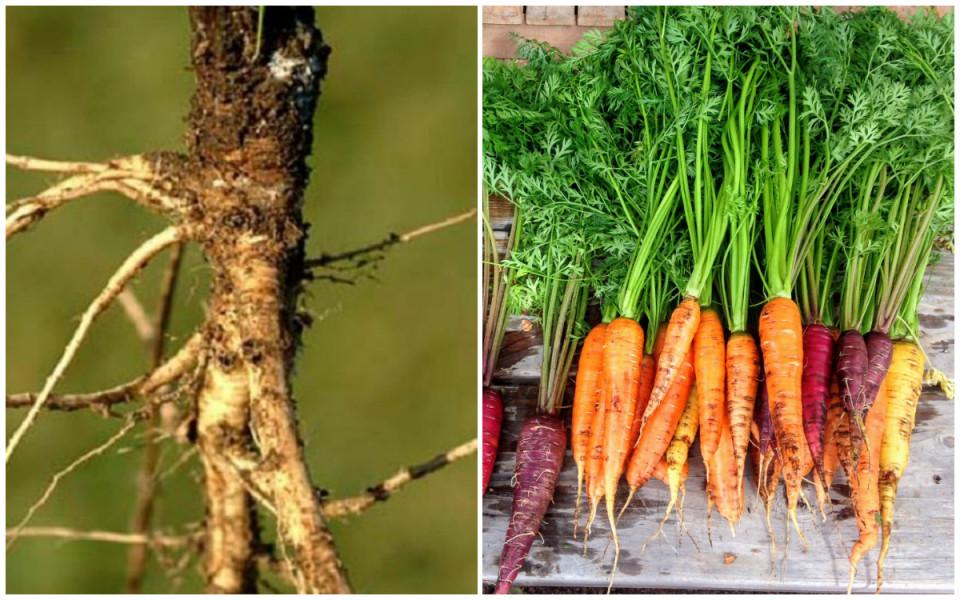 5 Buah dan Sayur Ini Mengalami Manipulasi Genetik, Wujud Awalnya Bikin Kaget - Foto 2
