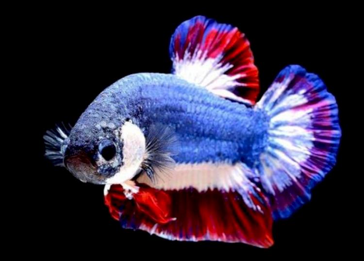 Kecil-kecil Cabe Rawit, Berikut 5 Jenis Ikan Cupang Termahal di Indonesia - Foto 1