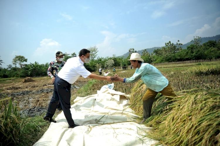 5 Potret Gubernur Anies Baswedan Panen Hasil Tani Bareng Bupati Sumedang, Seru - Foto 1