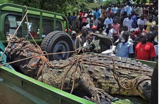 Kisah Buaya jadi Buronan Bernama Osama, Pemangsa Puluhan Warga Uganda - Foto 1