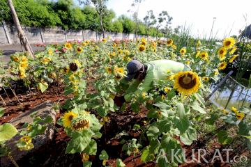 Budidaya Bunga Matahari Sambut HUT DKI Jakarta