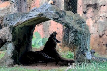 Dua Harimau Sumatera Koleksi Taman Margasatwa Terinfeksi COVID-19