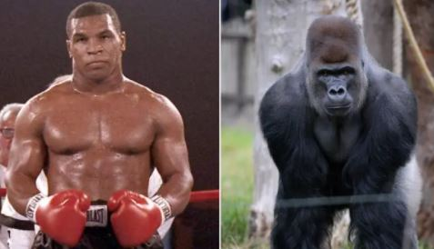 Kisah Mike Tyson Beri Imbalan Rp142 Juta ke Penjaga Kebun Binatang demi Bisa Tinju dengan Gorila