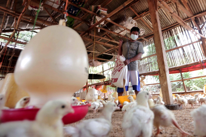 Peternak Ayam Keluhkan Bahan Pakan Ayam Melonjak Tinggi