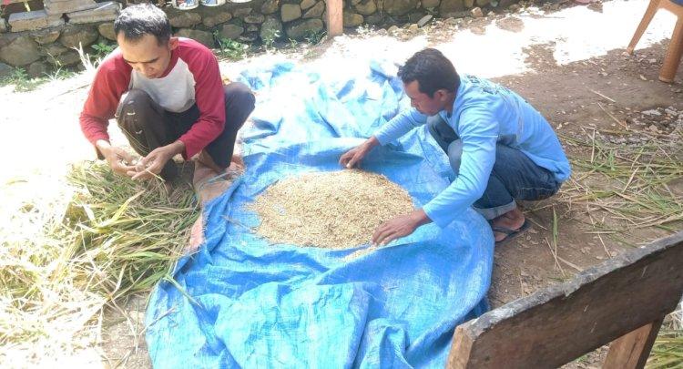 SL IPDMIP Tingkatkan Produksi Padi di Dompu, Nusa Tenggara Barat