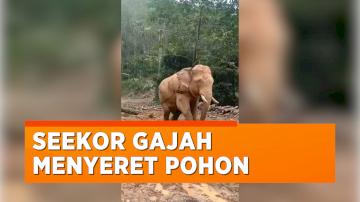 Viral Video Gajah Menyeret Pohon yang Baru Ditebang, Warganet Ramai-ramai Mengecam