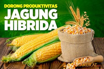 Dorong Produktivitas Jagung Hibrida