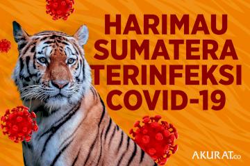 Harimau Sumatera Terinfeksi Covid-19